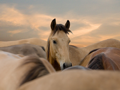 Stress and The Equine Immune System