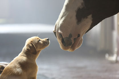 Anheuser-Busch Announces Super Bowl XLVIII Ad Lineup: Budweiser Clydesdales in the Game!
