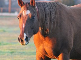 Upcoming Veterinary CE Webinars- Research on Nutrition and Management of Aging, Laminitic, and Obese Horses