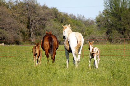 Baby Momma Drama: Can a Bad Recipient Mare Have a Negative Effect on Your Foal?