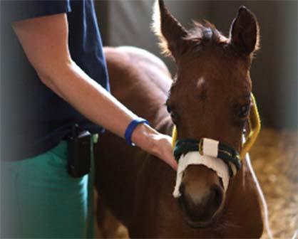 NICU Step Down Program For Sick Foals