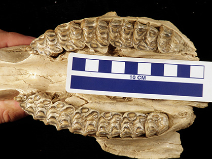 Changing Climate and Diet 16 Million Years Ago Led to Shape of Equine Teeth Today