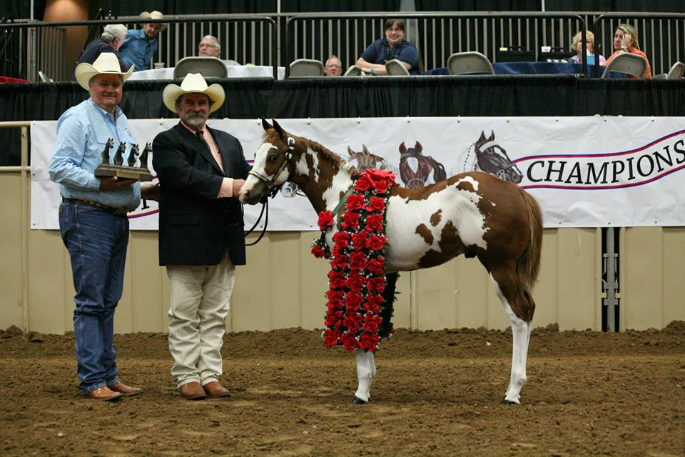 Day 10 Results and Photos From 2014 Pinto World Show