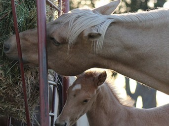 """Tips For Transitioning to Hay and Avoiding the Dreaded """"Winter Colic"""""""