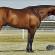 AQHA High Point Performance Halter Stallion, Potential Asset, Will Headline December Online Auction