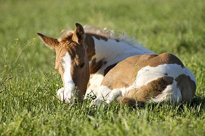 Sleep Deprivation in Horses?