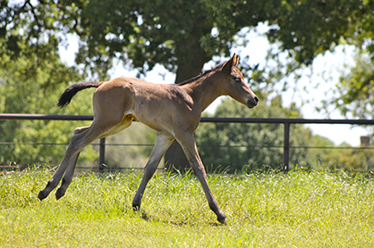 Analytics Brief Looks at Foal Supply