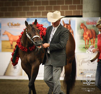 Photo courtesy of The Breeders Halter Futurity- Golden Rose Media