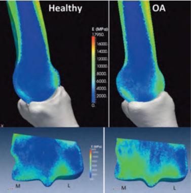 The Impact of IMPACT on Bone Health in Horses