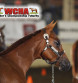 WCHA Announces 2 New Halter Classes Coming to 2018 AQHA World Show