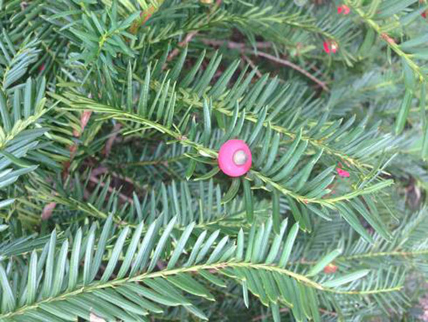 This Holiday Season, Avoid the Evergreen, Yew; Extremely Toxic to Horses