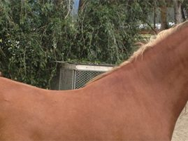 Endocrine-Disrupting Chemicals in Horses' Environment Linked to EMS