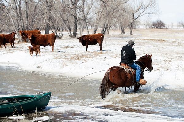 Quarter Horse and a Canoe Save Calves From Rising Floodwaters