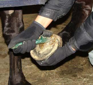 Preventing or Treating Thrush in Horses