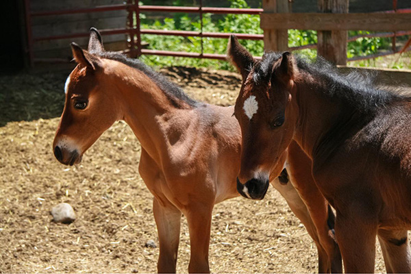 When Foaling Horses, Expect the Unexpected…