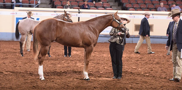 WCHA to Host Junior Weanling Classes at 2019 AQHA World Show