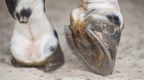 No Hoof, No Horse: Laminitis Treatment and Prevention