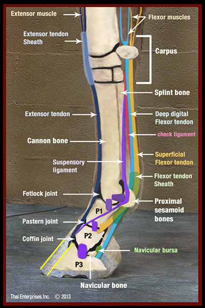 Understanding Navicular and Heel Pain in Horses