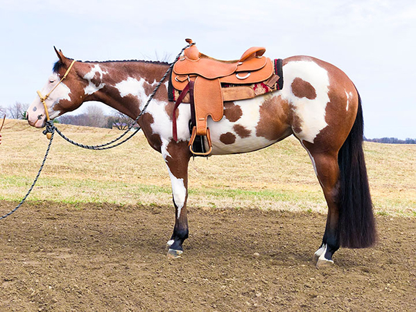 Catalog For July Internet Auctions Now Online Equine Chronicle
