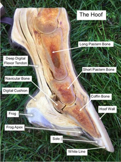 Confusing Horse Hoof Anatomy Explained