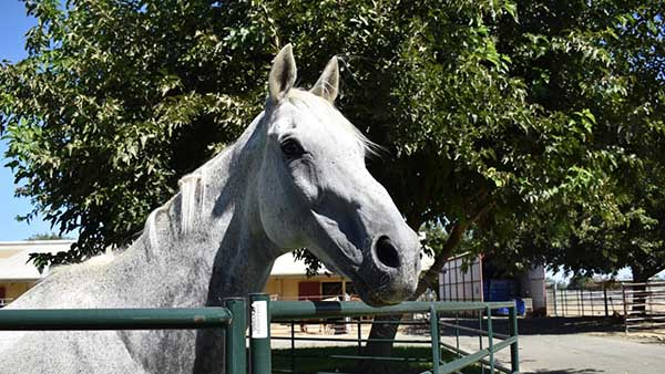 Novel Surgery Proves Successful For Former Competition Horse