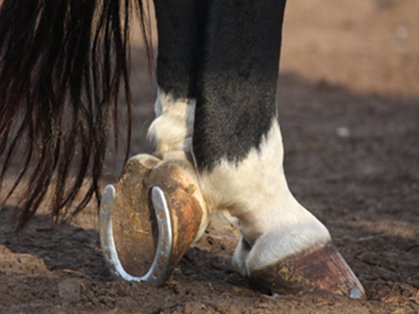 Diet or Trim – What's More Important for Hoof Health?