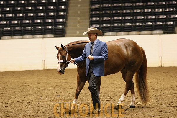 """AQHA Modifies """"Safety Lead"""" Rule For Halter Competition"""