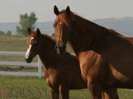 AQHA: Embryo Transfer Enrollment