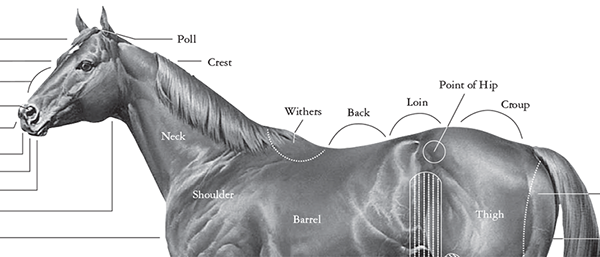 AQHA: Download Free Conformation Chart