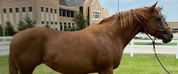 New Study Investigates Obesity as Risk Factor For Asthma in Horses