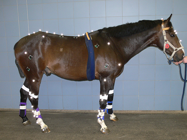 To Better Assess Lameness in Horses, Researchers Use Technology to Define Normal Muscle Activity